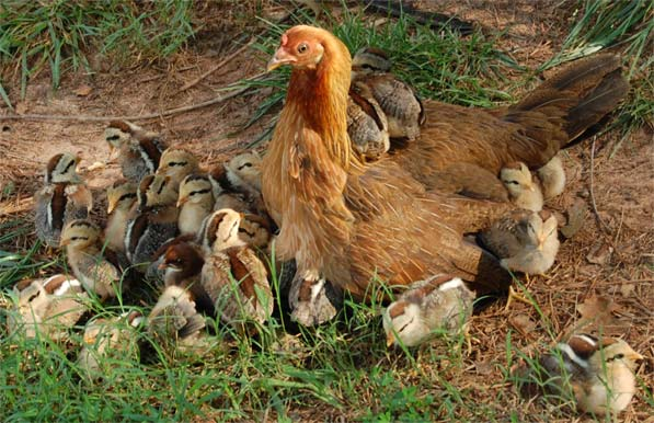 Mother hen with 42 chicks